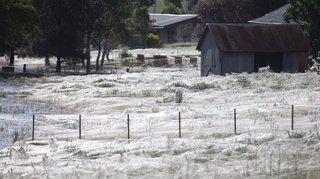 Australie: des araignées tissent des toiles géantes pour échapper aux inondations