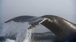 Insolite: un pêcheur sain et sauf après avoir été «avalé» par une baleine