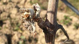 Geldévastateur dans le vignoble français: réchauffement en cause