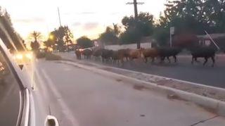 Rodéo près de Los Angeles: une quarantaine de vaches s'évadent