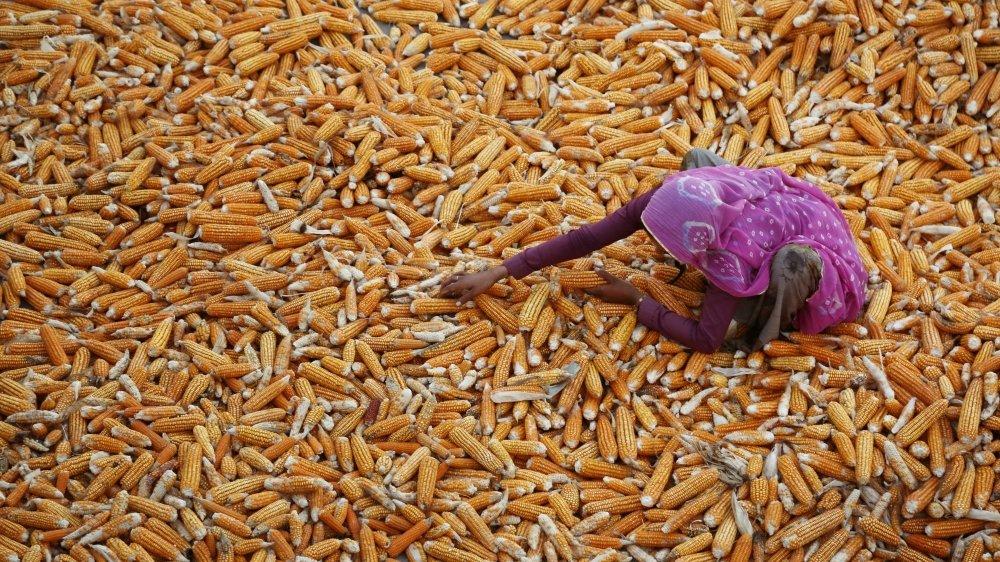 Une agricultrice indienne sèche la récolte de maïs dans l'Etat occidental du Rajasthan en Inde. Le maïs est une culture céréalière importante dans le monde après le blé et le riz.