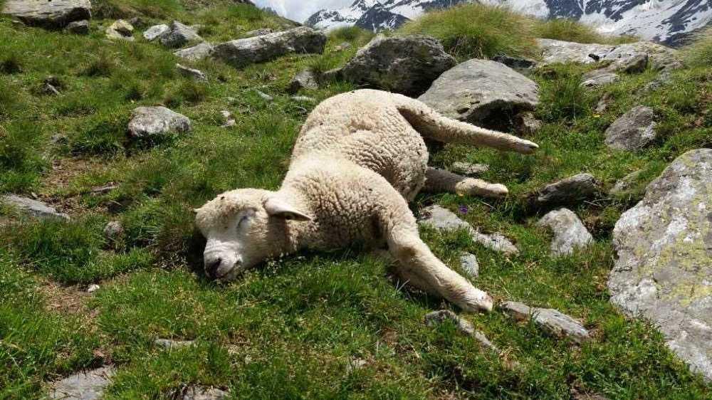 Il y a tout juste une année, le loup avait déjà fait un carnage sur les hauts de Bourg-Saint-Pierre, décimant un troupeau d'ovins.