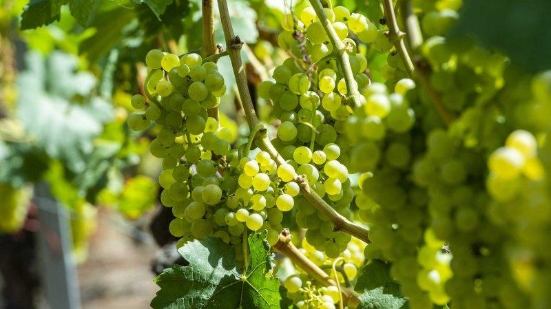 La CVA souhaite pouvoir inclure la contribution promotionnelle fédérale en faveur de l'Interprofession de la vigne et des vins suisses (IVVS) à la redevance cantonale.