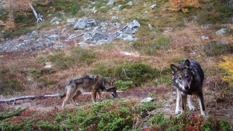La première meute de loup du Valais, à Augstbord.