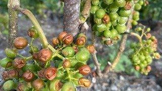 Martigny-Combe: après le gel et le mildiou, des vignes victimes de la grêle