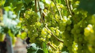 Valais: pression sur les 2,7millions de francs de redevances vitivinicoles