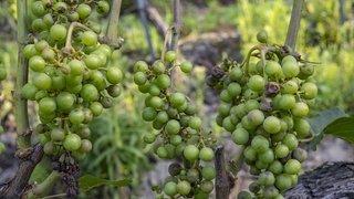 La chasse aux raisins est ouverte en Valais