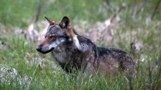 Attaques de loup: 35 moutons tués en juillet, Hérémence demande au canton d'agir