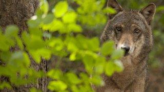 Val d'Hérens: une demande de régulation de la meute de loups adressée à Berne