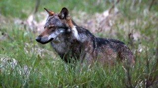 Le canton de Vaud demande à Berne de pouvoir abattre deux jeunes loups