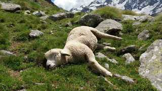 Veau tué, présence possible d'une meute dans le val d'Hérens… la pression du loup augmente sur les alpages