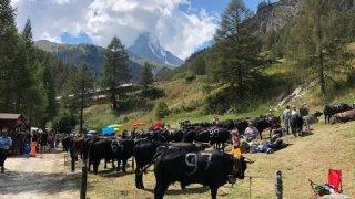 Zermatt organise le premier combat de reines de l'ère Covid