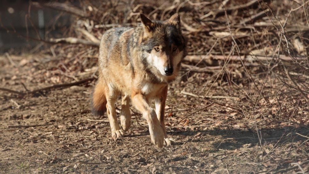Les loups ne sont pas assez craintifs selon les postulants. Image d'illustration