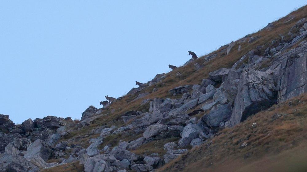 Claudy Follonier a immortalisé la meute de loups du val des Dix dans la région de Mandelon, à 2500 mètres d'altitude, un samedi matin.