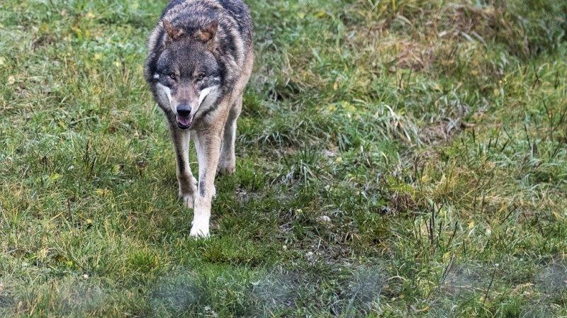 Grisons: abattage de deux jeunes loups de la meute du Piz Beverin