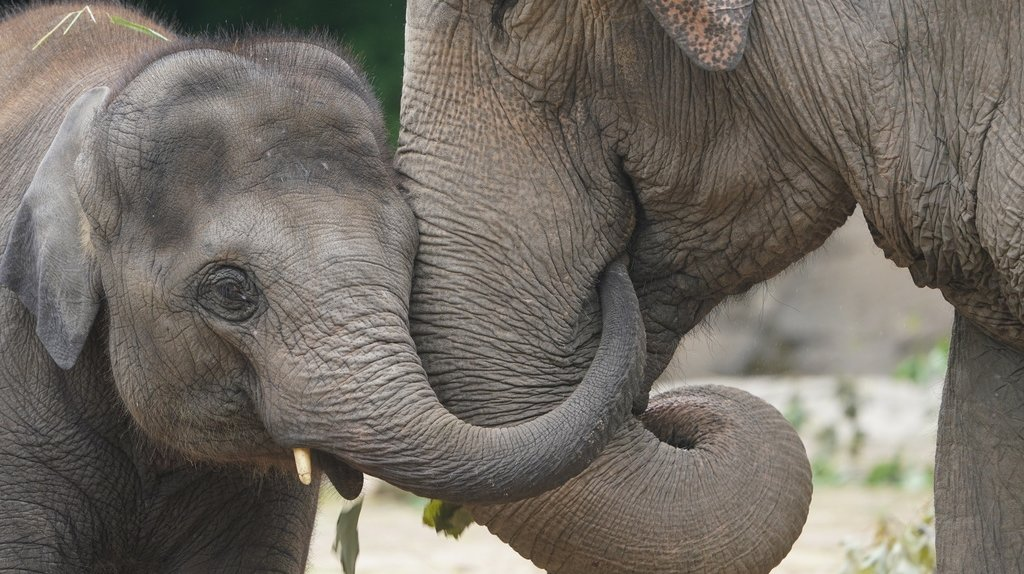 L'analyse a permis de démontrer que les éléphants utilisent une vingtaine de mouvements pour faire bouger leur trompe (illustration).