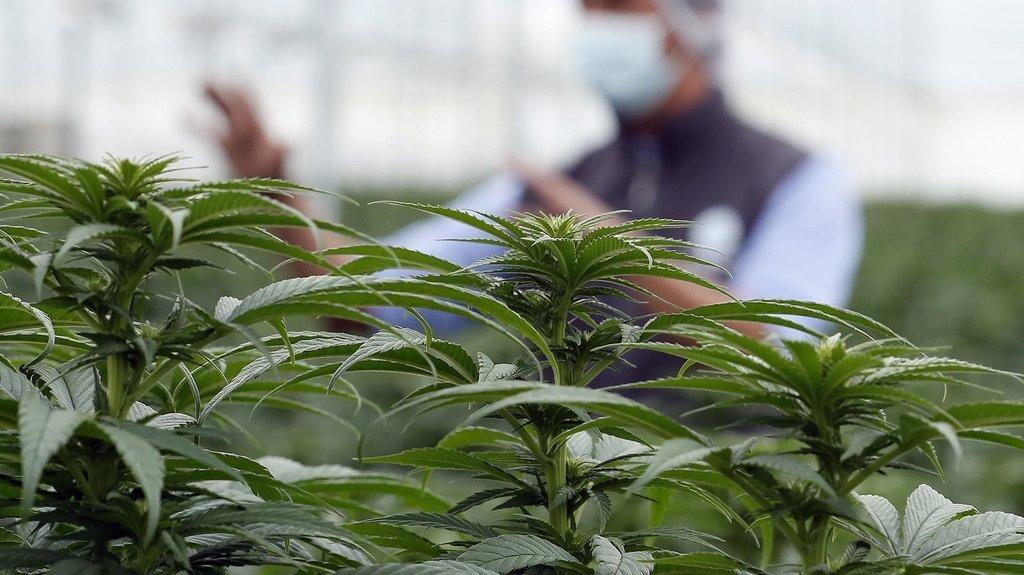 Dernière ligne droite pour l'accès facilité au cannabis médical