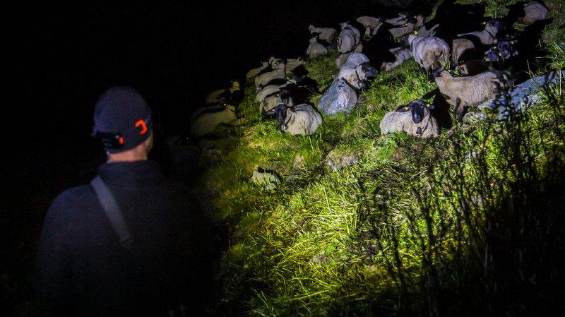 Valais: 186 bénévoles ont bravé le loup pour protéger les moutons, avec succès