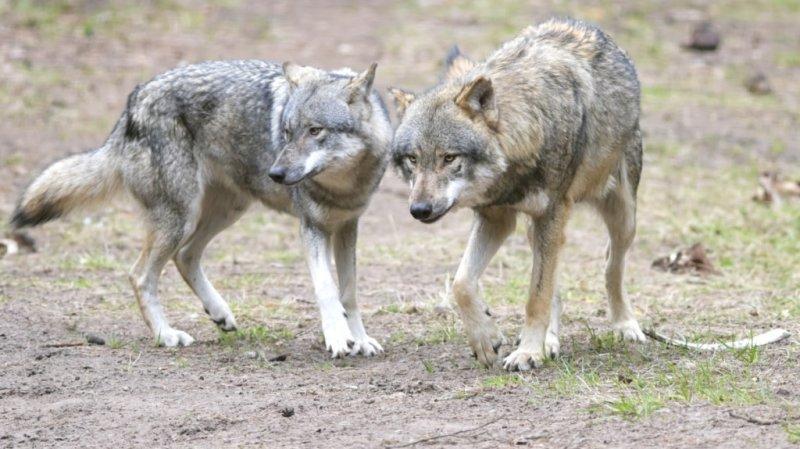 Grisons: une meute de loups s'approche de randonneurs