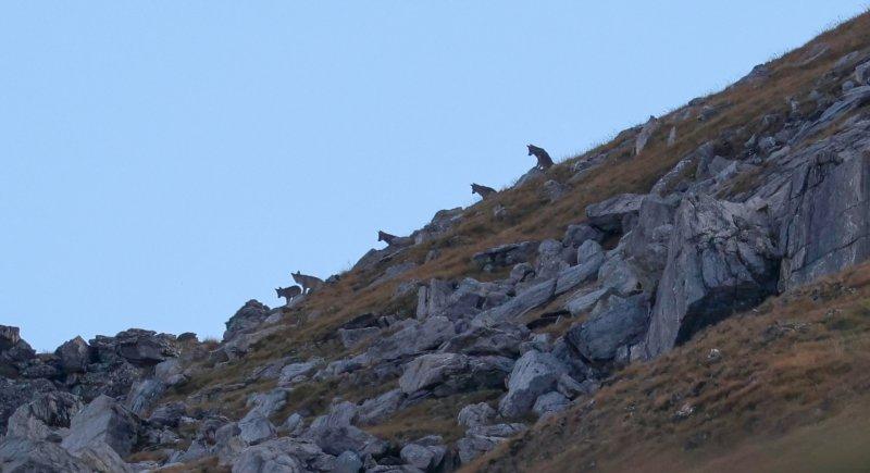 Les loups du val des Dix dans le viseur d'un photographe animalier