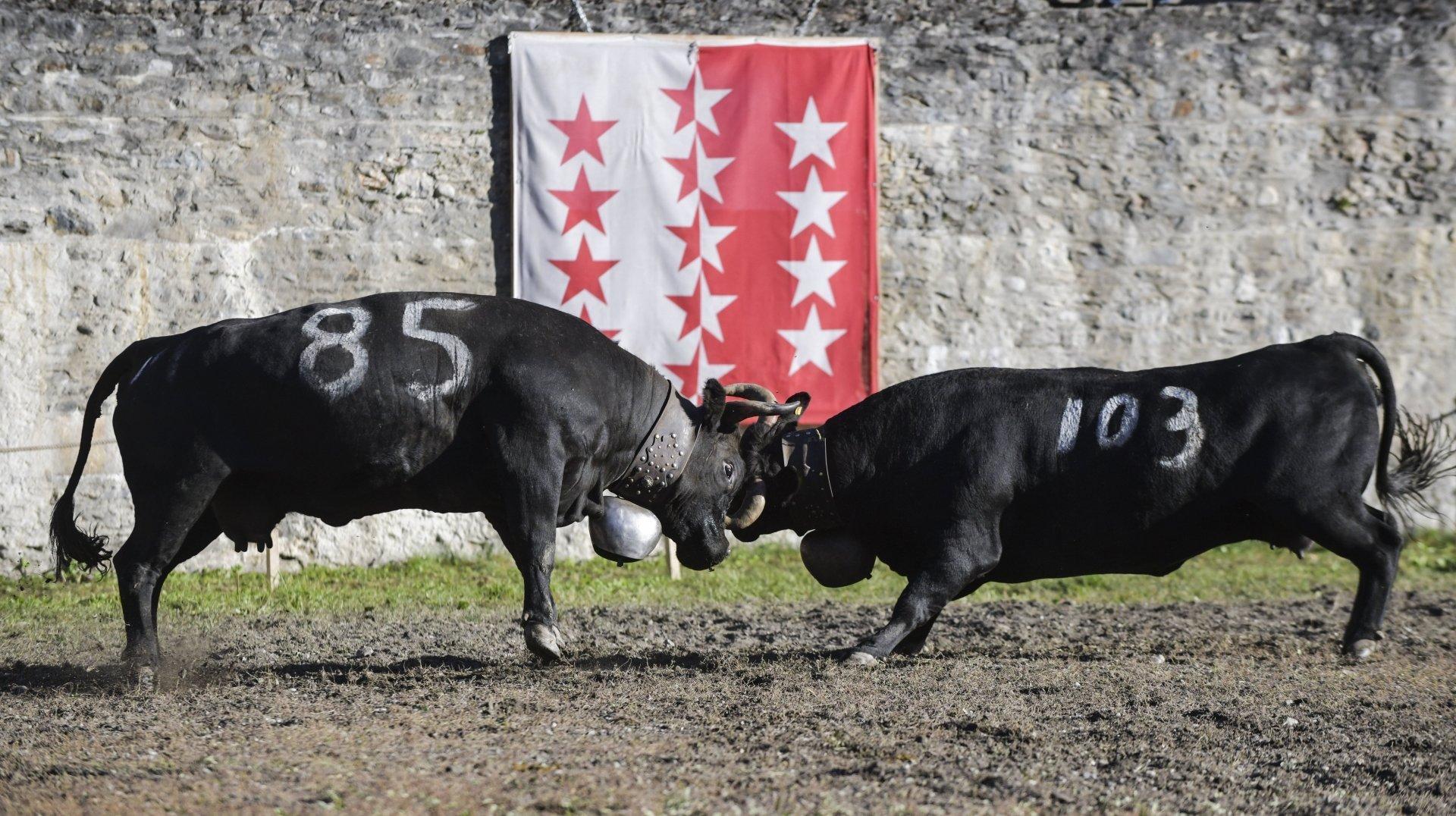 Des taureaux, des miss et un combat de reines à la Foire du Valais