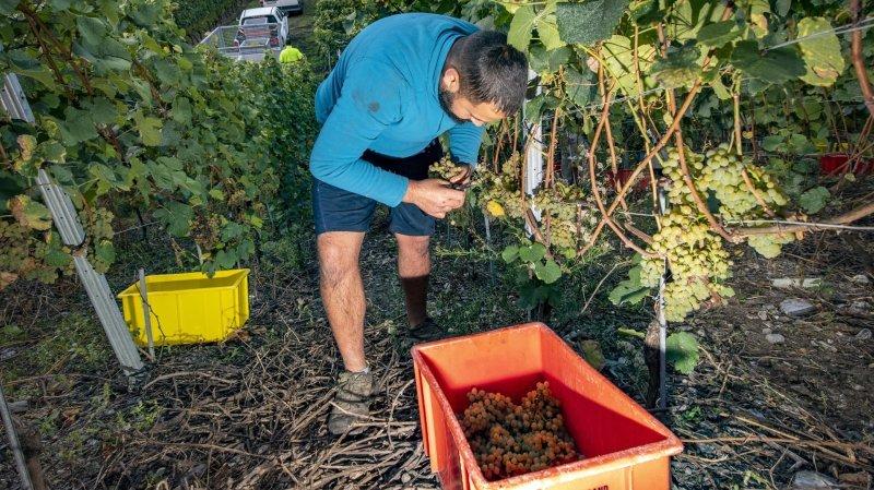 Vendanges 2021: une très faible quantité de raisins en Valais, des vols constatés dans les vignes