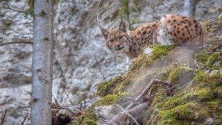 Le lynx, «ce grand prédateur absolument sublime», arrive au cinéma cette semaine