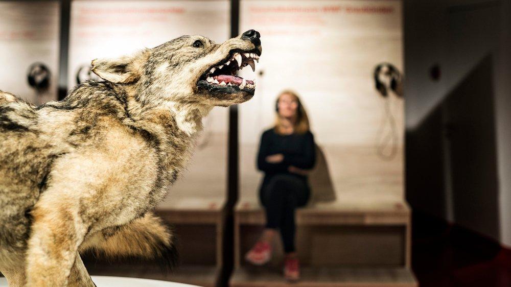 Le Musée alpin suisse crie au loup, il perdra l'an prochain 750000francs de subvention. Un arrêt de mort, selon son directeur. Ici l'exposition «Le loup est là» présentée l'an dernier.