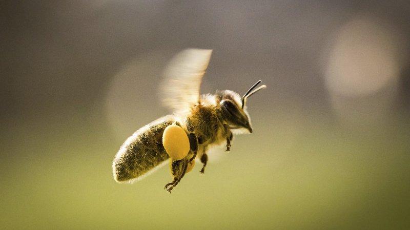 Du Captafol, fongicide cancérogène interdit depuis 30 ans en Suisse, a été découvert sur les cadavres d'abeilles de sept ruches valaisannes.