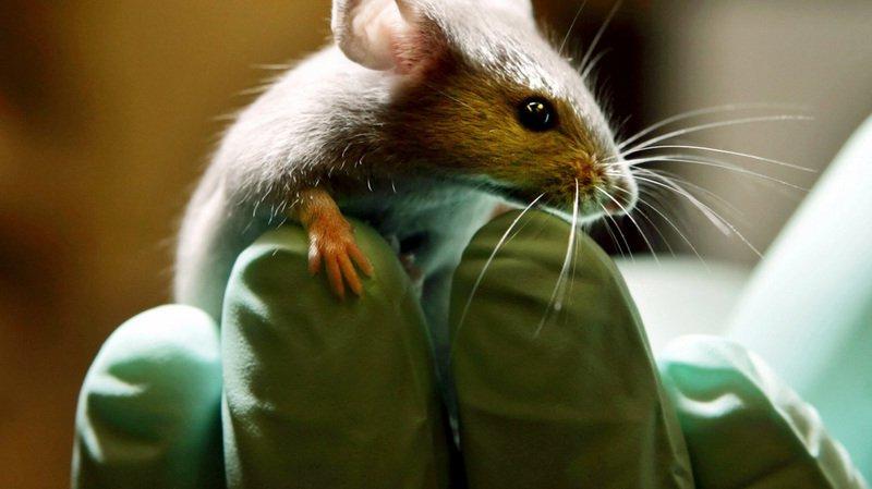 Suisse: près de 630'000 animaux ont été utilisés pour l'expérimentation en 2016