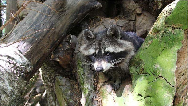 Zoo de Servion (VD): deux ratons laveurs sont nés par surprise, les premiers depuis 15 ans