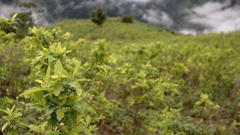 Colombie: les surfaces de coca ont doublé en un an