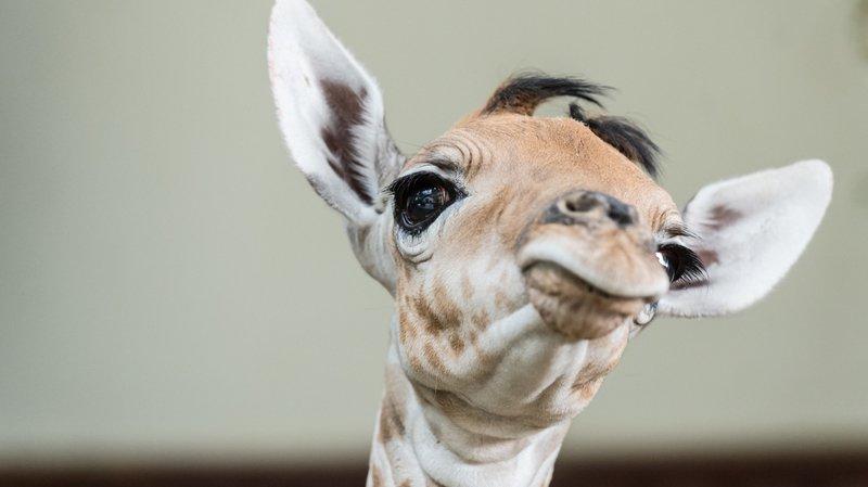 Zoo de Bâle: Osei le girafon est né