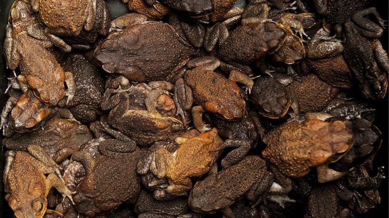 Pérou: saisie de 1520crapaudsdestinés à des préparations aphrodisiaques