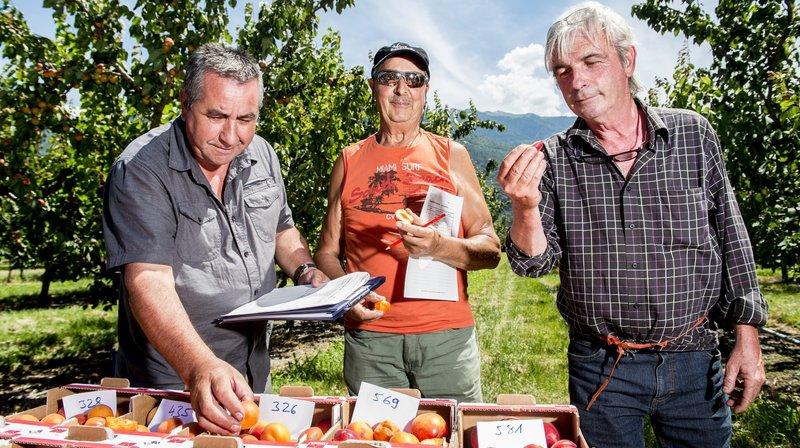 Ils dégustent 200 abricots par jour à la recherche du fruit parfait