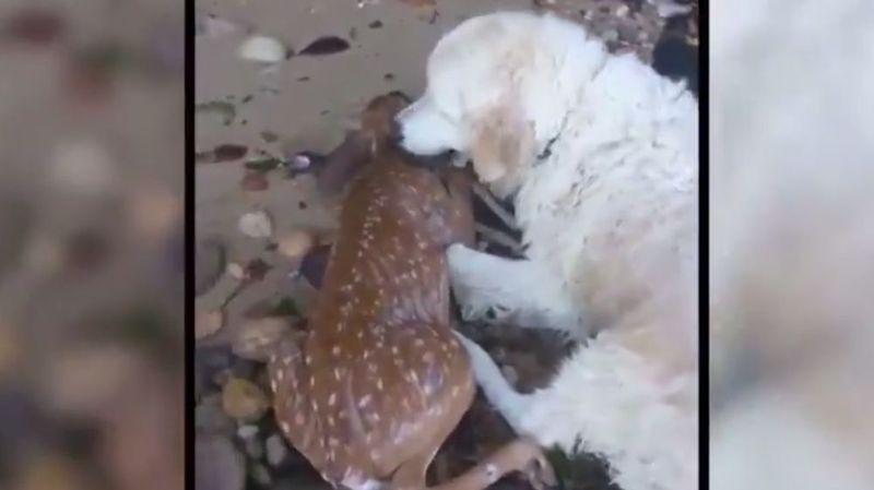 New York: un chien sauve un faon de la noyade