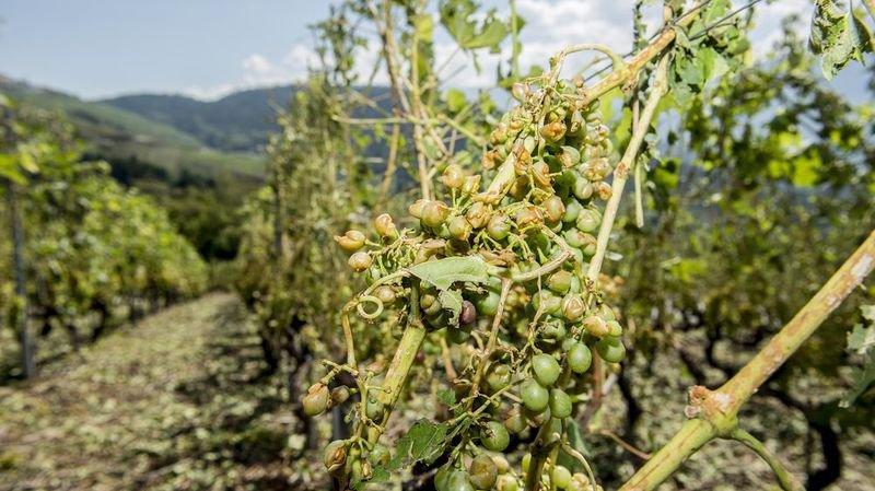 Grêle: les vignes de Conthey et de Savièse fortement touchées