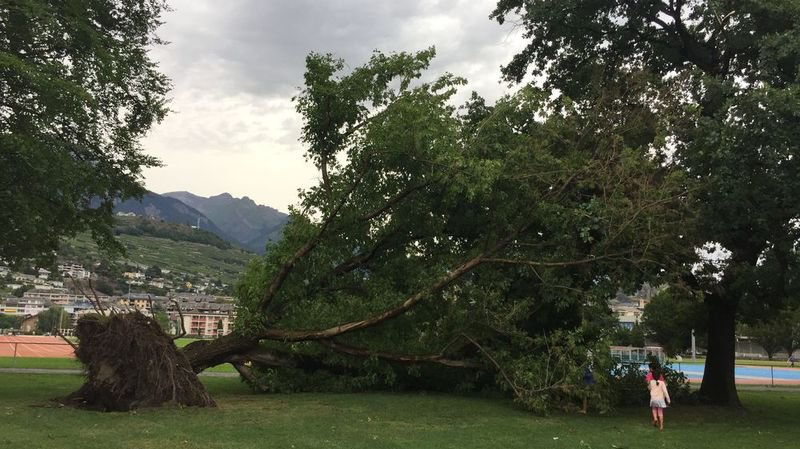 Valais central: des arbres arrachés par le vent