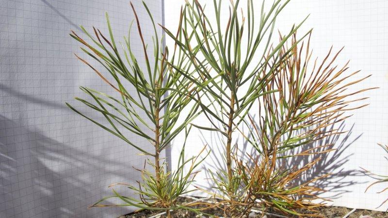 Les jeunes pins savent s'adapter à la sécheresse