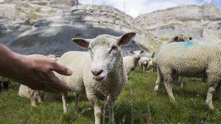 Col de la Gemmi: 700 ovins à la 60e Fête des moutons
