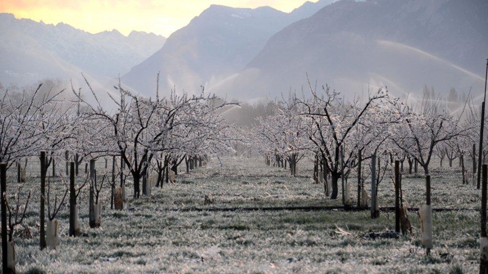 Pour lutter contre le gel qui les a durement frappés en 2017, les arboriculteurs utilisent la technique de la lutte par aspersion. En se formant, la glace dégage de l'énergie et protège la fleur.