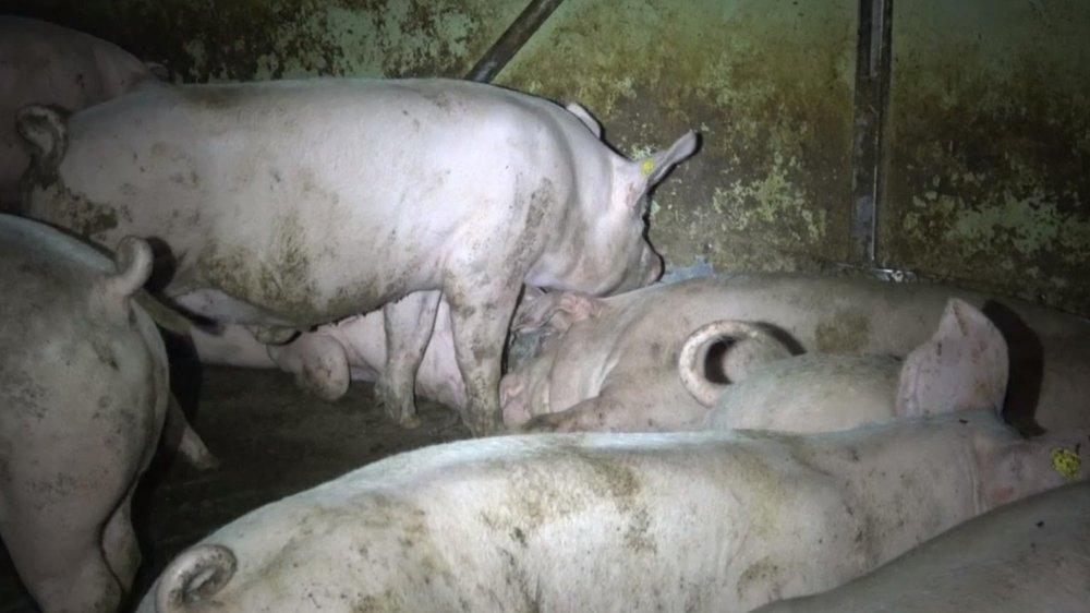 La fondation Mart attend sereinement d'être assignée et affirme avoir des preuves irréfutables du lieu et de la date où ont été prises des nouvelles images de cochons maltraités dans une porcherie vaudoise.