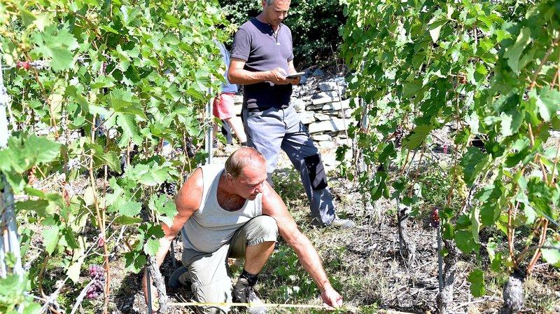 Après le gel: dix contrôleurs inspectent 12000 parcelles de vigne en Valais