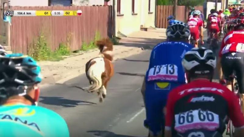 Cyclisme: un poney s'incruste dans le peloton du Tour de Pologne