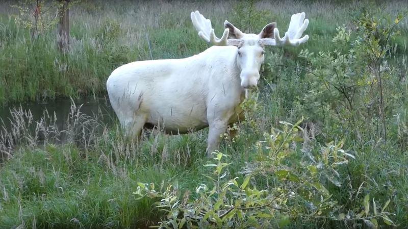 Suède: un spécimen rare d'élan tout blanc filmé en pleine baignade