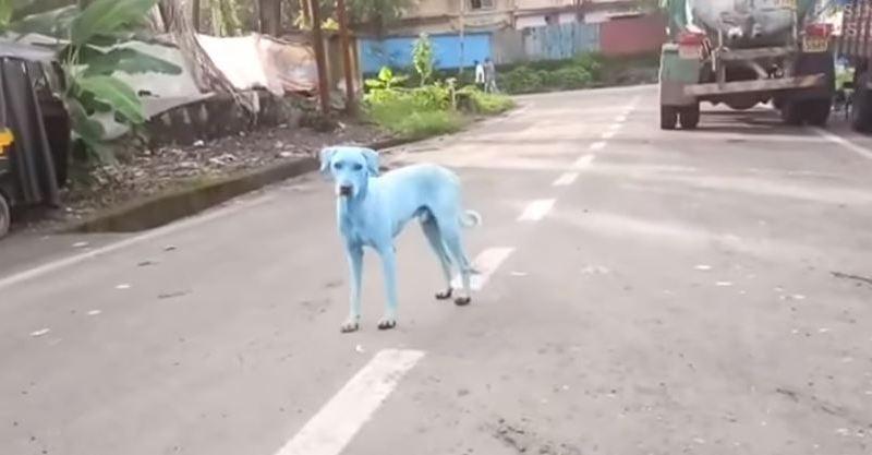 Inde: des chiens errants sont devenus bleus à cause de la pollution industrielle