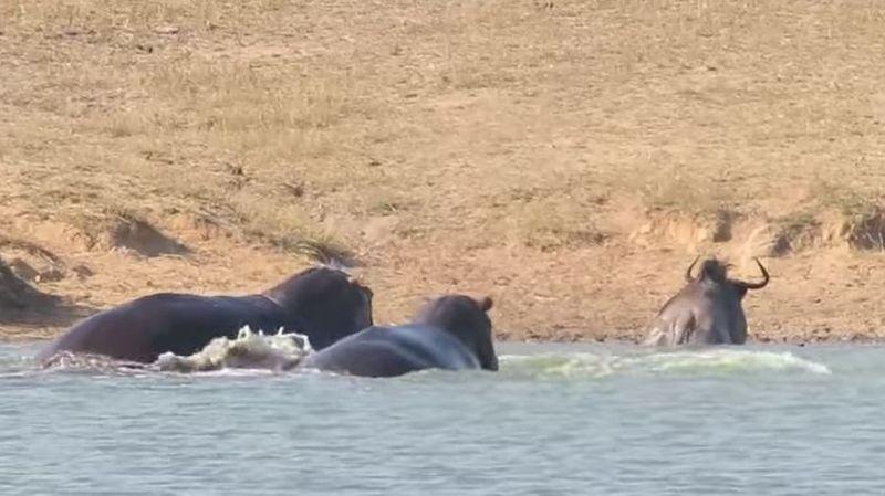 Les deux hippopotames sont intervenus... mais probablement pour défendre leur territoire.