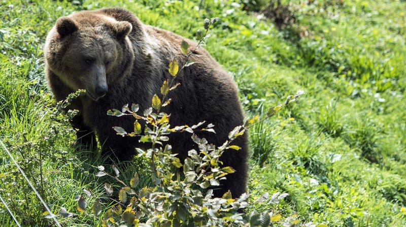 Suède: gardien de 19 ans tué par un ours dans un parc animalier