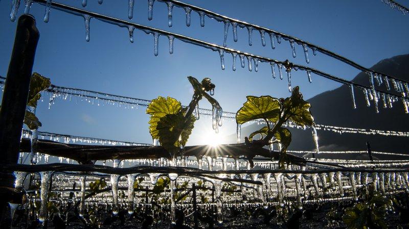 Agriculture: les professionnels victimes du gel pourront être indemnisés par fondssuisse