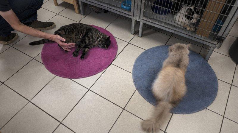 Selon plusieurs SPA, la mesure doit éviter que le chaton ne s'ennuie et ne casse tout.